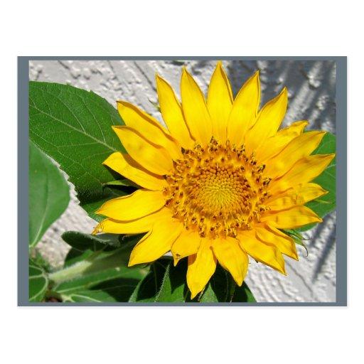 Girasol en la floración tarjetas postales