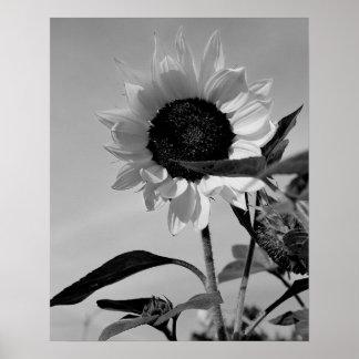 Girasol en negro y blanco póster