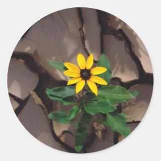 Girasol que crece de fango agrietado pegatina redonda