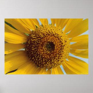 Girasol soleado - cierre amarillo gigante del posters