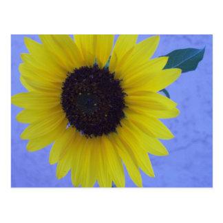 Girasol soleado en fondo azul postal