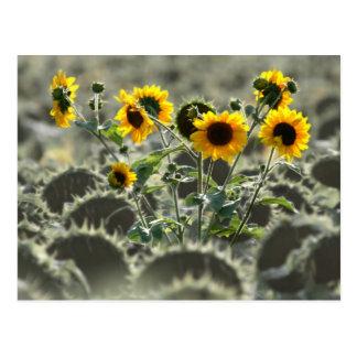 Girasoles amarillos jovenes postales