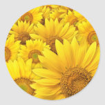 Girasoles amarillos pegatina redonda