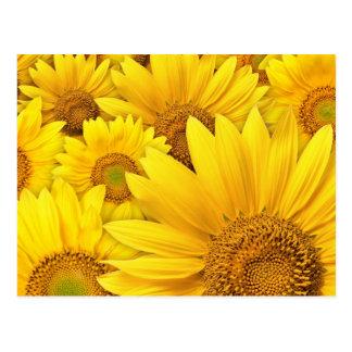 Girasoles amarillos postales