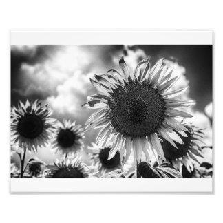 Girasoles blancos y negros fotos