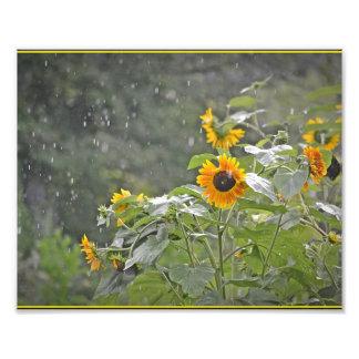 Girasoles en la impresión de la foto de la lluvia cojinete