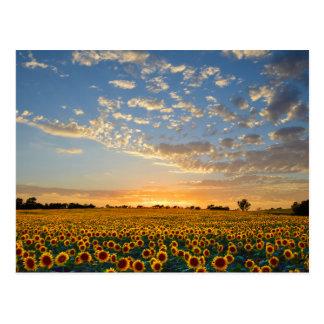 Girasoles en la puesta del sol postales