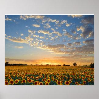 Girasoles en la puesta del sol póster