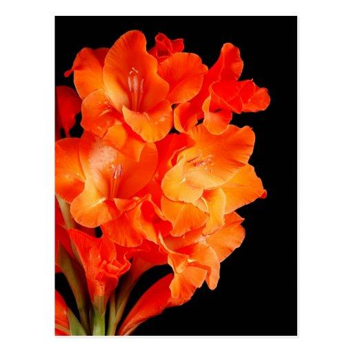 Gladiolas anaranjado hermoso tarjetas postales