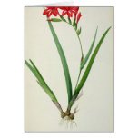 Gladiolus Cardinalis, from `Les Liliacees', 1805 Greeting Cards