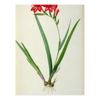 Gladiolus Cardinalis, from `Les Liliacees', 1805 Postcard
