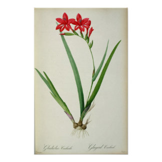 Gladiolus Cardinalis, from `Les Liliacees', 1805 Poster