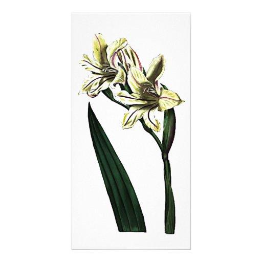 Gladiolus Milleri Card