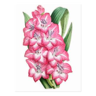 Gladiolus Ulysse Post Card