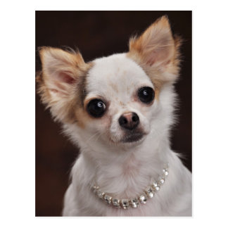 Glamour Chihuahua Diva Post Cards