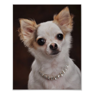 Glamour Chihuahua Diva Poster