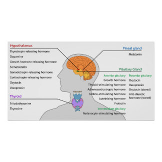 Glándulas endocrinas y hormonas de la cabeza y del póster