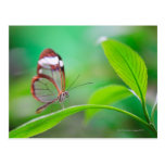 Glass wing butterfly relaxing on fresh green postcard
