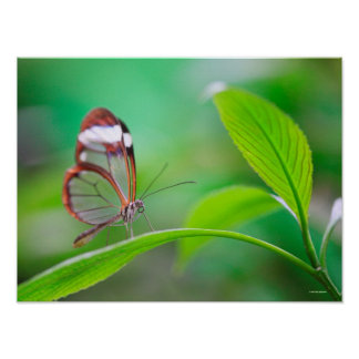 Glass wing butterfly relaxing on fresh green poster