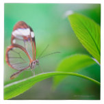 Glass wing butterfly relaxing on fresh green large square tile