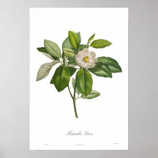 Glauca de la magnolia poster