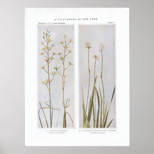 Glaucous Anticlea - Anticlea chlorantha Poster