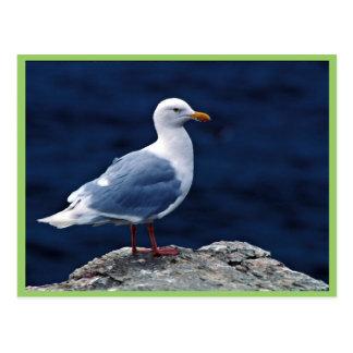 Glaucous Gull Postcard