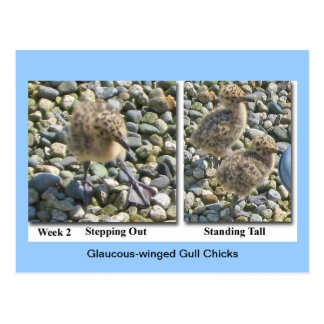 Glaucous-winged Chicks Postcard