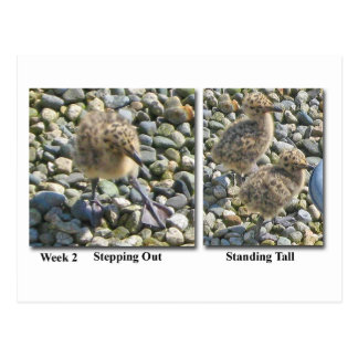 Glaucous-winged Gull Chicks Postcard