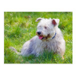 Glen of Imaal Terrier dog postcard