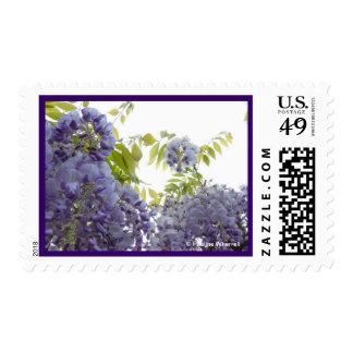 Glicinias elegantes de la fotografía de la bella sello