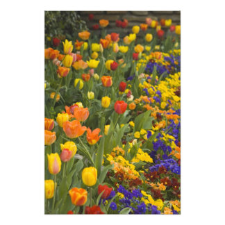 Glicinias y tulipanes en el jardín de Dumbarton Cojinete