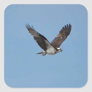 Gliding Osprey Square Sticker