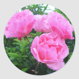 Glorious pink Roses Classic Round Sticker