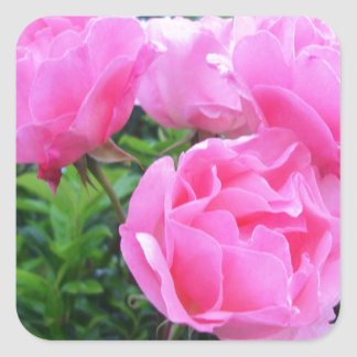 Glorious pink Roses Square Sticker