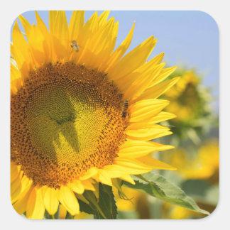 Glorious sunflowers! square sticker