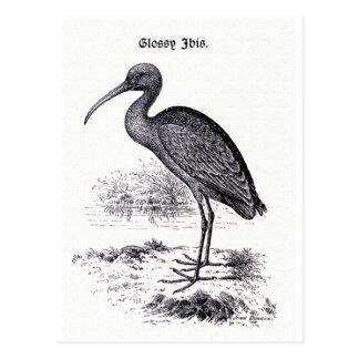 """Glossy Ibis"" Vintage Illustration Post Cards"