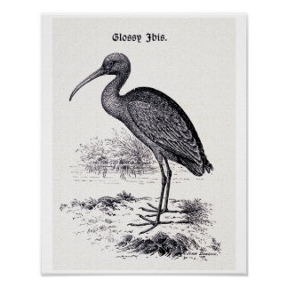 """Glossy Ibis"" Vintage Illustration Posters"