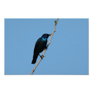 Glossy Starling blue bird of happiness Print