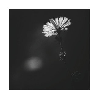 Glowing Black and White Minimalist Chicory Flower Canvas Print