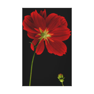 Glowing in Darkness/Red Gerbera Photography Canvas Print