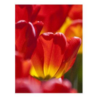 Glowing Orange Tulips Postcard