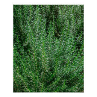 Glowing Rosemary Bushes Poster