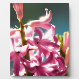 Glowing Sunlit Pink Hyacinth Blossoms Display Plaque