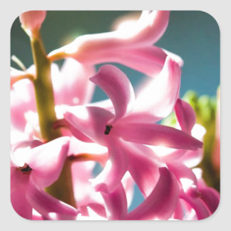 Glowing Sunlit Pink Hyacinth Blossoms Square Sticker