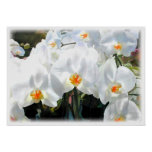 Glowing White Phalaenopsis Orchids Print