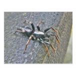 Gnaphosid Spider Postcard