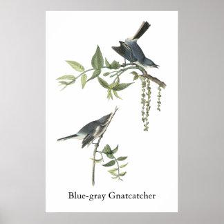 Gnatcatcher Azul-gris Juan Audubon Posters
