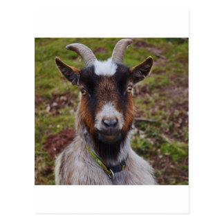 Goat close up. postcard