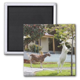 Goat Eating From Tree 2 Inch Square Magnet